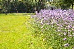 Verbena bonariensis, Lawn Royalty Free Stock Photo
