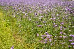 Verbena bonariensis, purple flower Royalty Free Stock Photos