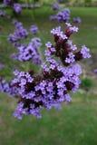 Verbena Bonariensis Royalty Free Stock Image