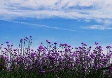 Verbena bonariensis Stock Images