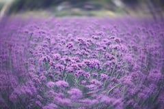 Verbena bonariensis,Purple Flowers Royalty Free Stock Photography