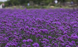 Verbena bonariensis,Purple Flowers Royalty Free Stock Images
