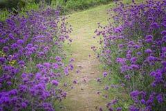 Verbena bonariensis,Purple Flowers Royalty Free Stock Photo
