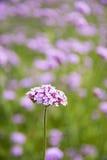 Verbena bonariensis,Purple flower Stock Photos