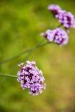 Verbena bonariensis,Purple flower Royalty Free Stock Image