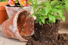 Verbena with clay pot, springtime Stock Image