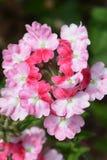 Verbena. Colors summer flower beds Stock Image