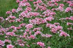 Verbena. Colors summer flower beds Stock Photos