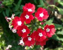 Verbena común del jardín foto de archivo libre de regalías