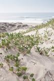 Verbena de areia na areia fotos de stock royalty free