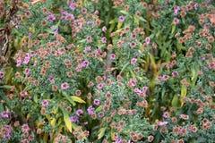 Verbena del jardín - hybrida de Glandularia Ã-, antes hybrida de la verbena imagen de archivo libre de regalías