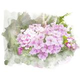 Verbena di porpora del fiore Immagini Stock