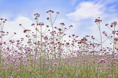 Verbena field Royalty Free Stock Images