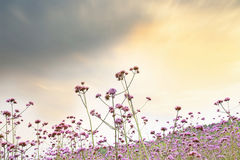 Verbena field Royalty Free Stock Photos
