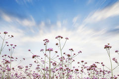 Verbena field Stock Photo