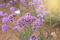 Verbena field Royalty Free Stock Photography