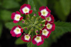 Verbena floreciente en jardín Imagenes de archivo