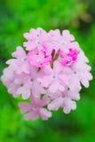 Verbena flower. Pink verbena flower in garden Royalty Free Stock Images
