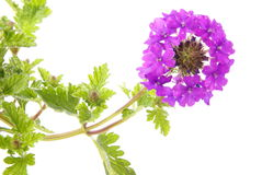 Verbena Flower Cluster Royalty Free Stock Photos