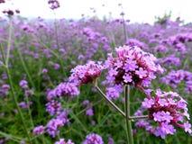 Verbena. Flower field smells fragrant Royalty Free Stock Image