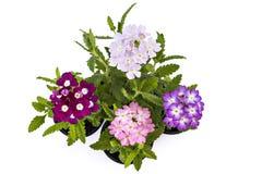 Verbena flower Stock Images