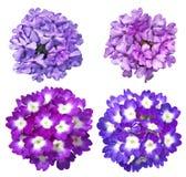 Verbena Flower set Royalty Free Stock Image