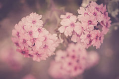 Verbena flowers on bokeh background. Shot with a selective focus Stock Photos