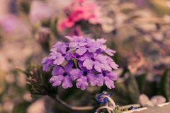 Verbena flowers on bokeh background. Shot with a selective focus Royalty Free Stock Photos