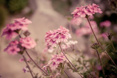 Verbena flowers on bokeh background. Shot with a selective focus Royalty Free Stock Photo