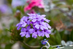 Verbena flowers on bokeh background. Shot with a selective focus Royalty Free Stock Images