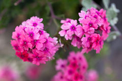 Verbena flowers on bokeh background. Shot with a selective focus Stock Photo