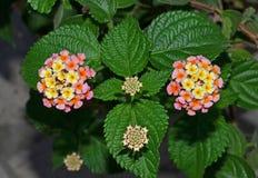 Verbena flowers closeup Stock Photos