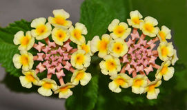 Verbena flowers closeup Stock Image