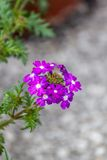Verbena flowers Stock Image