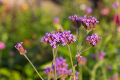 Verbena flowers Royalty Free Stock Images