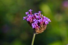 Verbena flowers Stock Photo