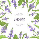 Verbena flowers and leaves card template with copy space. branch boxing. Verbenaceae medicinal herb. Vector Illustration. . For prints, posters, flyer, flier vector illustration