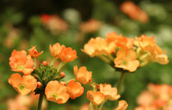 Verbena  flowers. And leaves at ooty botanical garden, tamilnadu, india Royalty Free Stock Photography
