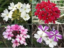 Verbena flowers multicolored. In summer Stock Images