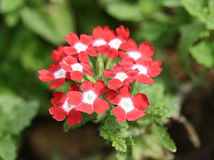 Verbena flowers on the nature Stock Photo