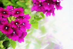 Verbena flowers with space for text. Stock Photography