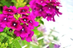 Verbena flowers with space for text. Royalty Free Stock Photography