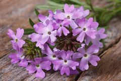 Verbena flowers on the table closeup Stock Photo