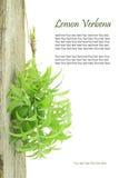 Verbena fresca del limone Immagine Stock