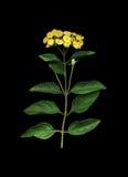 Verbena gialla sul nero Fotografia Stock Libera da Diritti