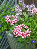Verbena growing in small space garden potted plants Royalty Free Stock Image