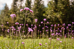 Verbena Herb Flowers stock images
