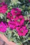 Verbena hybrida 'Sandy Rose' Stock Photos