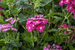 Verbena Hybrida Temari, los rasgones de Hera, rasgones de ISIS Planta ornamental popular para los jardines, parques, balcón Dise? imagenes de archivo