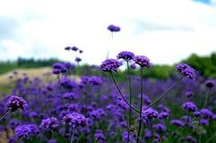 Verbena kwiat Zdjęcie Royalty Free